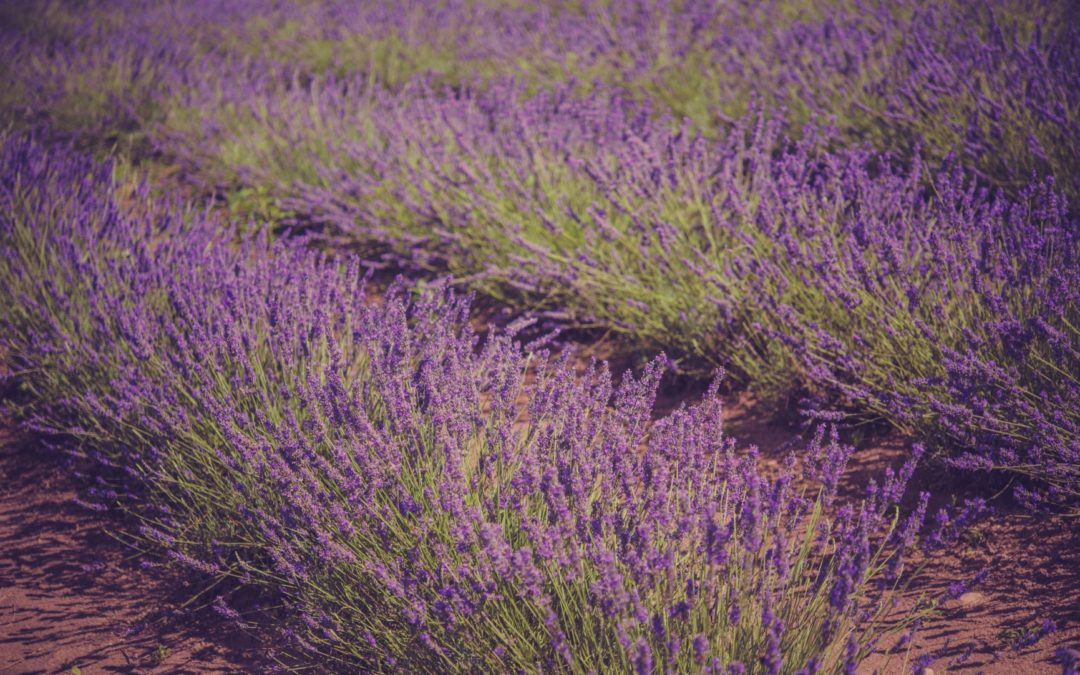 Lavender plants in rows